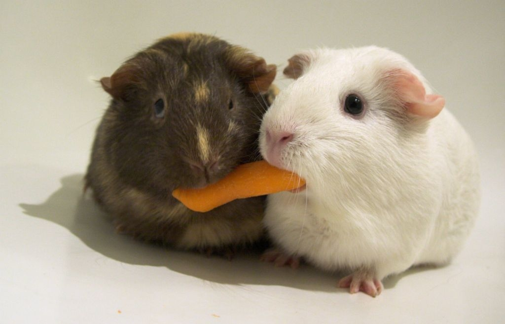Two hamsters eating the same piece of carrot