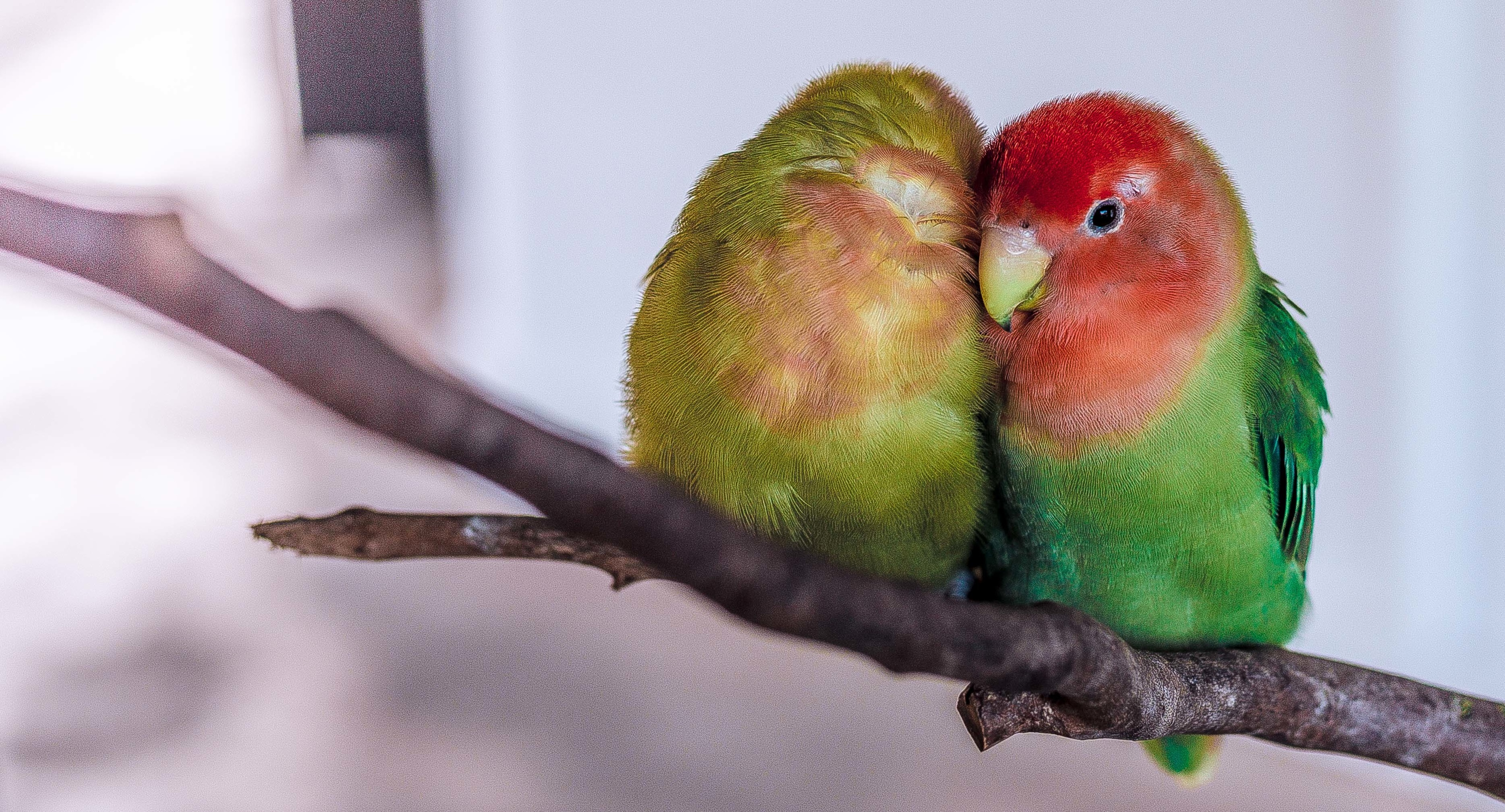 Photo of two birds on a branch, snuggling each other as if consenting