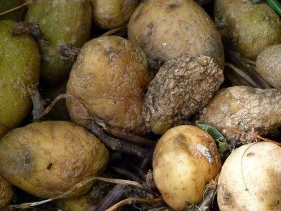 rotting potatoes