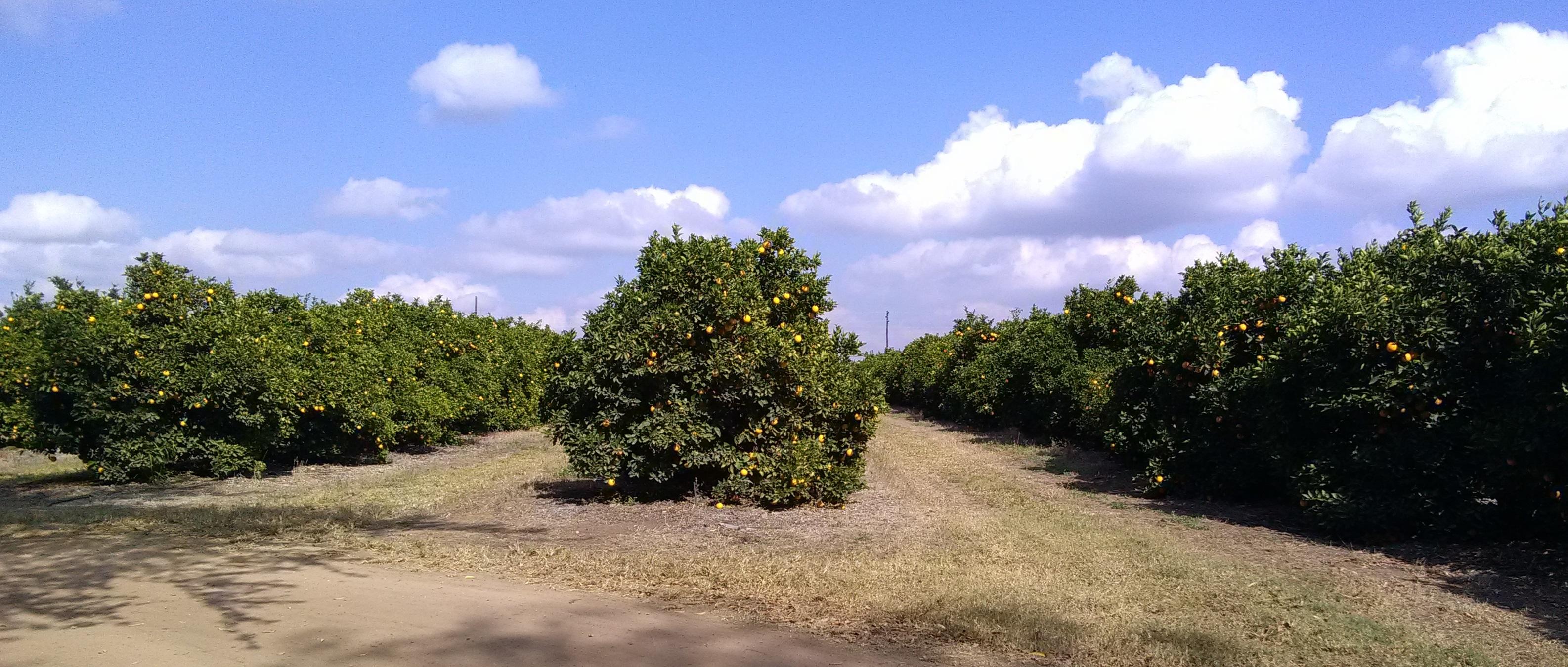 Tzaneen_citrus