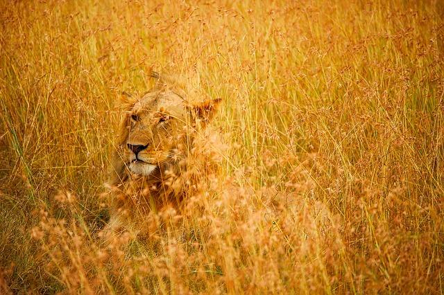 Predatory lion