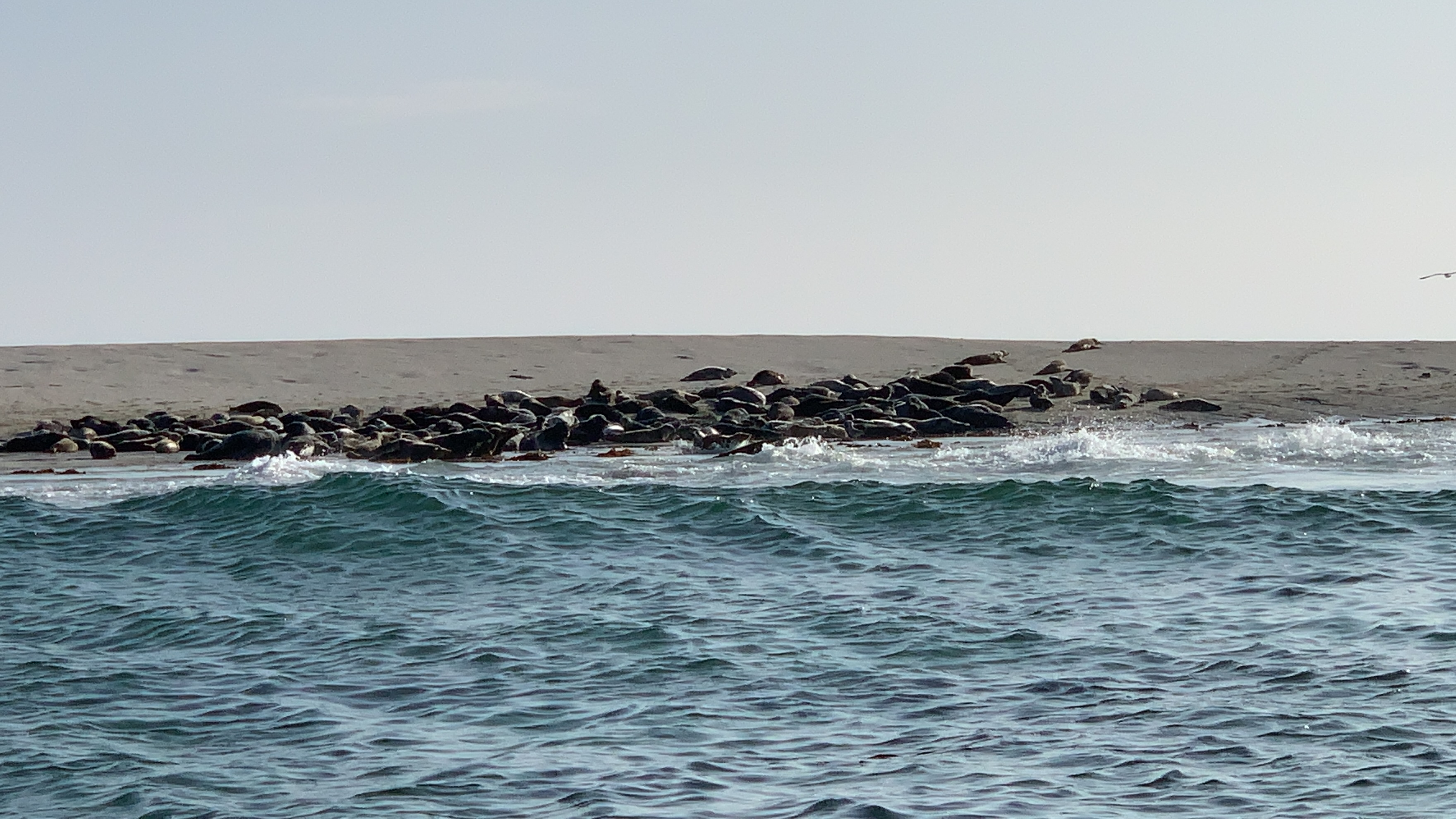 Seals in the Outer Hebrides